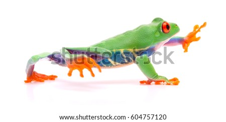 Red eyed tree frog walking, Agalychnis callydrias. A tropical rain forest animal with vibrant eye isolated on a white background.