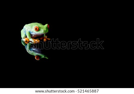 Red eyed tree frog with reflection , isolated on black background