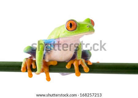 red eyed treefrog agalychnis callidrias a beautiful tree frog from the tropical rain forest in Costa Rica isolated on white.