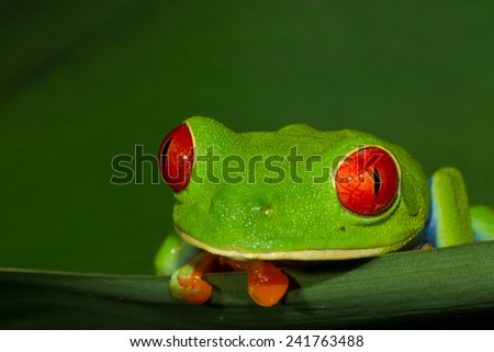 Red-eyed Treefrog (Agalychnis callidryas), Costa Rica - stock photo