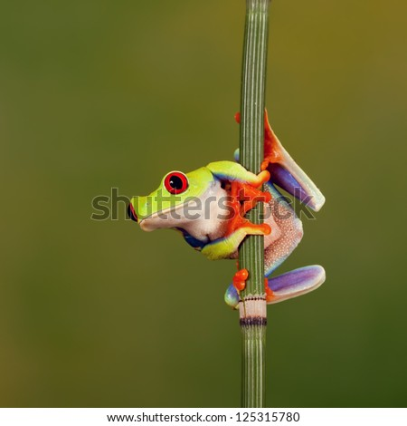 Red eyed treefrog hanging around - stock photo