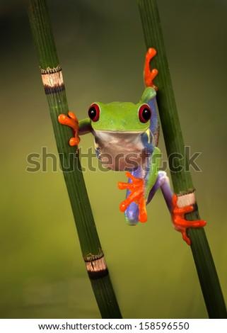 Red Eyed Treefrog hanging around - stock photo