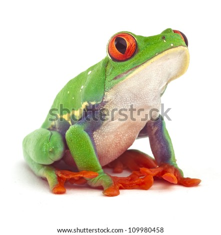 red eyed treefrog macro isolated exotic frog curious animal bright vivid colors - stock photo