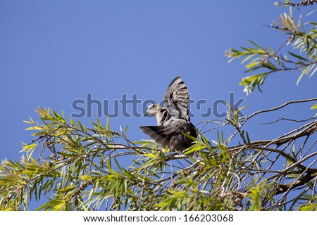 Red eyed turtle dove sunning itself - stock photo
