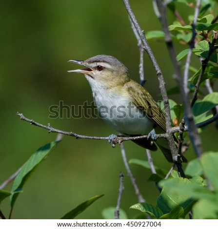 Red-Eyed Vireo Singing on Green Background