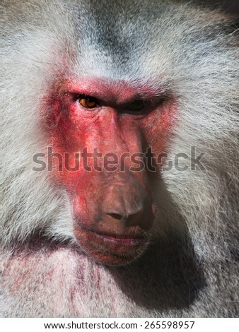 Red face of hamadryas baboon, Papio hamadryas, detailed view