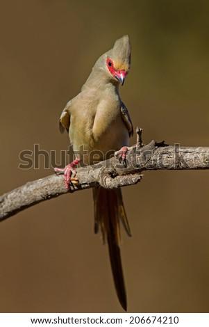 Red-faced mousebird; Urocolius indicus - stock photo
