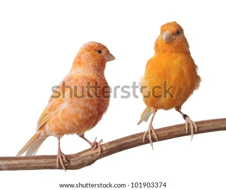 Red Factor Canary isolated on white background - stock photo