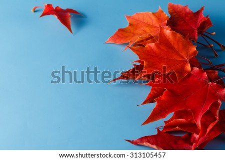 Red fall maple leaves lay on blue shadeless background