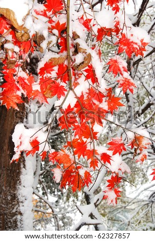 red fall maple tree covered in snow - stock photo