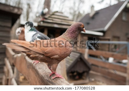 Red fawn domestic pigeon stands on wooden fence in the farm - stock photo