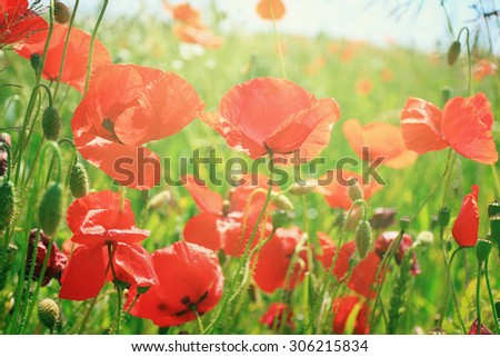 Red field of poppies in sunlight  - stock photo