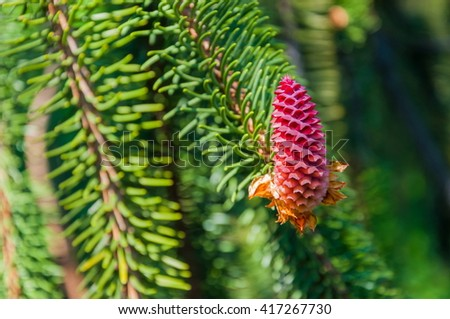 Red fir cones in the spring time of the year  - stock photo
