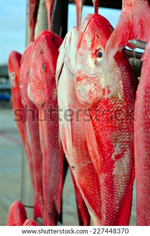 Red fish, fresh catch from Mississippi - stock photo