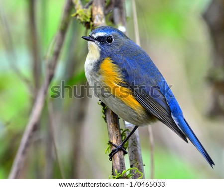 Red-flanked bluetail, the beautiful blue bird perching on branch with nice background