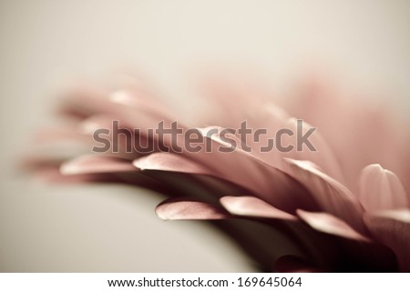 red flower background. Closeup of red gerbera flower.  - stock photo