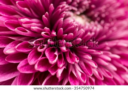 red flower chrysanthemum as background. close