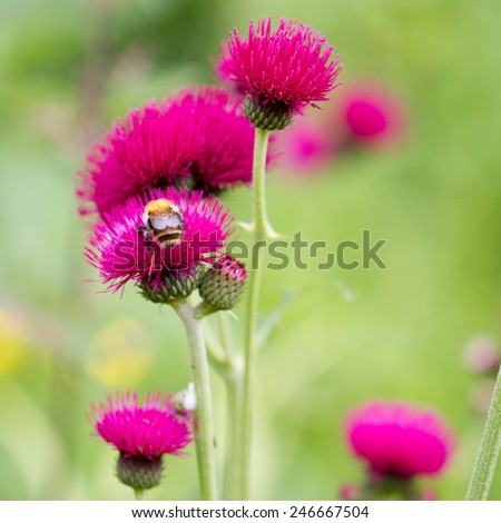 Red flower, crimson thistle with a honey bee, square cropped image  - stock photo