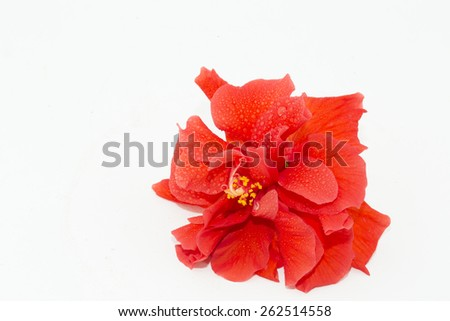 red flower, hibiscus