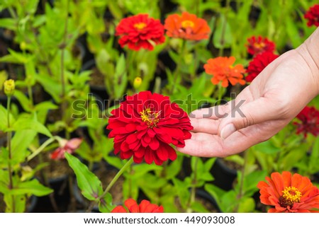 red flower in garden with woman hand