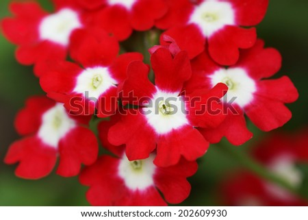 Red flower in the garden. Close up.                                  - stock photo