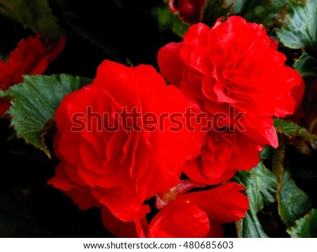 red flower of begonia