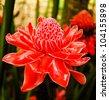 Red flower of etlingera elatior - stock photo