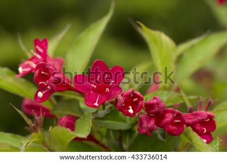 Red flower of Weigela ornamental bush - stock photo