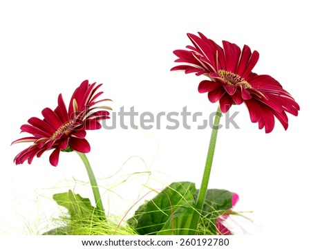 red flower on a white background isolated - stock photo