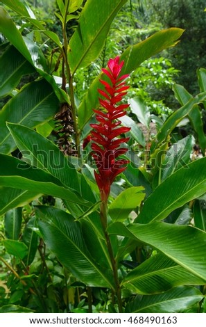 Red Flower Red Ginger (Alpinia purpurata) photo shoot in Cuba.