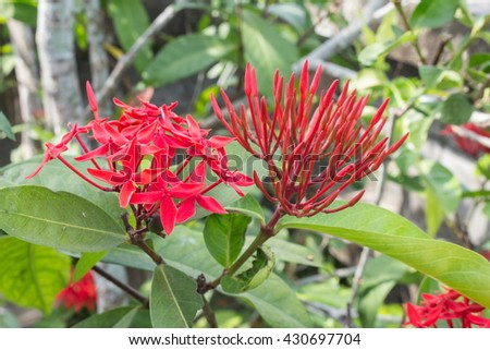 Red flower spike bud before it's bloomed, Rubiaceae flower, Ixora coccinea It is a flowering shrub native to Southern India and Sri Lanka.(select focus front Red flower spike ) - stock photo