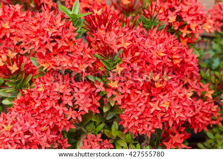 Red flower spike, Rubiaceae flower, Ixora coccinea It is a flowering shrub native to Southern India and Sri Lanka.(select focus front Red Rubiaceae flower) - stock photo