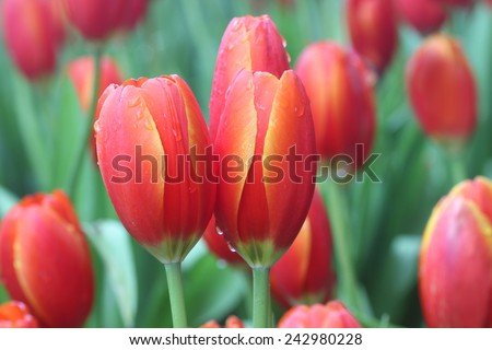 Red flower Tulips bud in blurry background, Beautiful view of red tulips under sunlight landscape at the middle of spring. petals amazing orange flower background