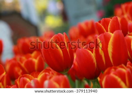 Red flower Tulips bud in blurry tulips background, Beautiful view of red tulips under sunlight landscape at the middle of spring.  petals amazing orange flower background