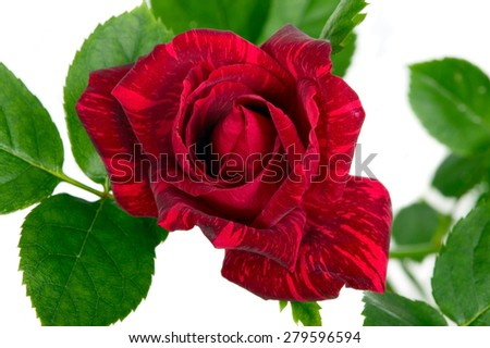 Red flower with green leaves on white background - stock photo