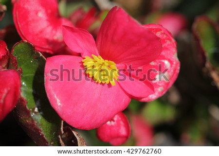 Red flower with yellow inflorescence. - stock photo
