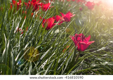 Red flowers and green grass after rain - toned picture - stock photo