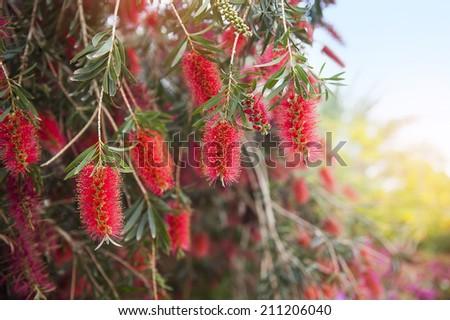 Red flowers of bottle brush tree (Callistemon)  - stock photo