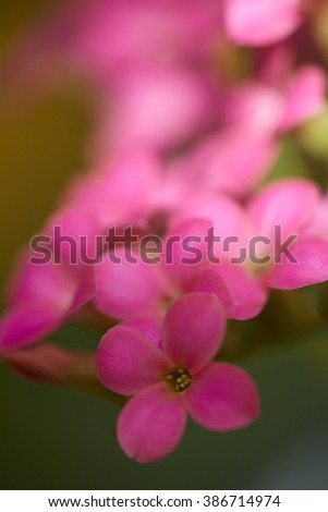 Red flowers of Kalanchoe - stock photo