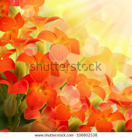 Red flowers on a white background, a spring primrose - stock photo