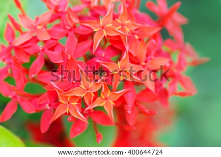 Red flowers Red Ixora flowers on nature background