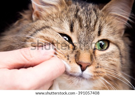 red fluffy cat and the hand of the hostess - stock photo