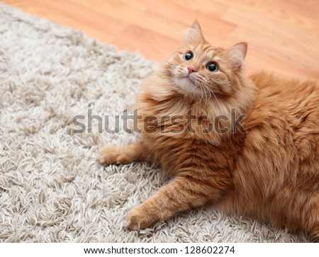 red fluffy cat is on carpet, looking up - stock photo