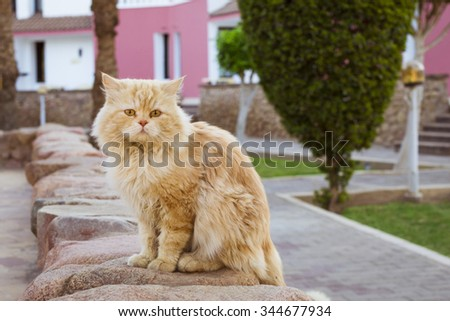 Red fluffy cat sitting on a stone curb and looking at the camera, Sharm El Sheikh, Egypt