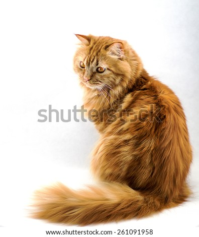 red fluffy cat with orange eyes  - stock photo
