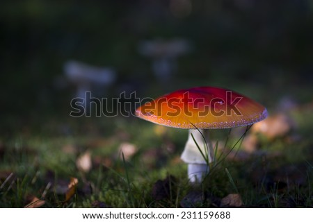red fly agaric mushroom in scandinavian forest - stock photo