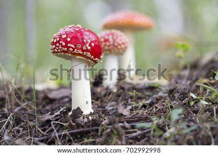 Red fly agaric mushrooms or toadstools in the grass.  Latin name is Amanita muscaria. Toxic mushroom