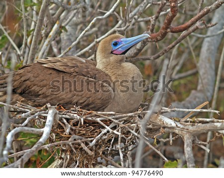 Red footed booby in nest on Genovesa Island in the Galapagos chain - stock photo