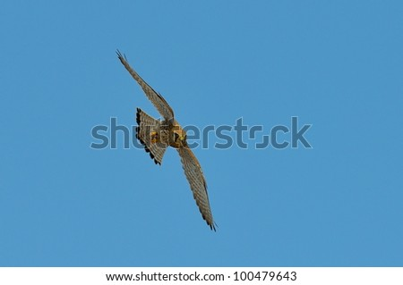 red-footed falcon flying (falco vespertinus)