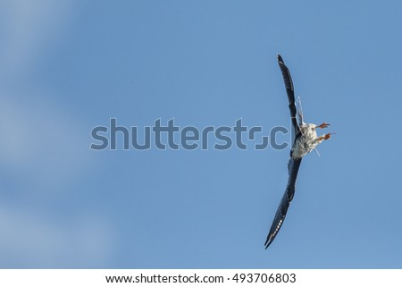 Red-footed falcon in flight hunting for dragonfly